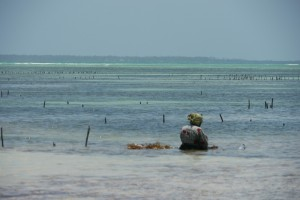 Plantation des algues
