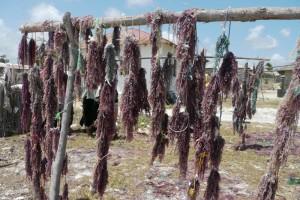 Séchage des algues